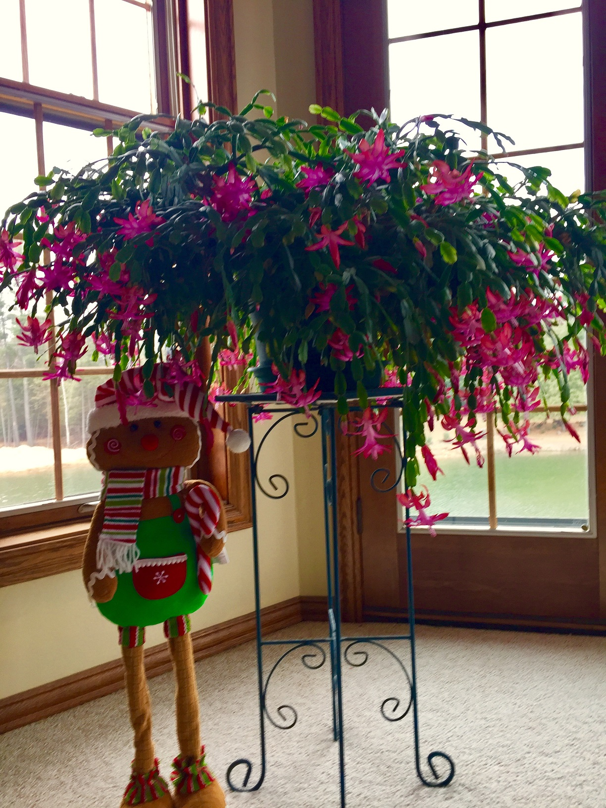 Christmas Cactus Care Beat Your Neighbor