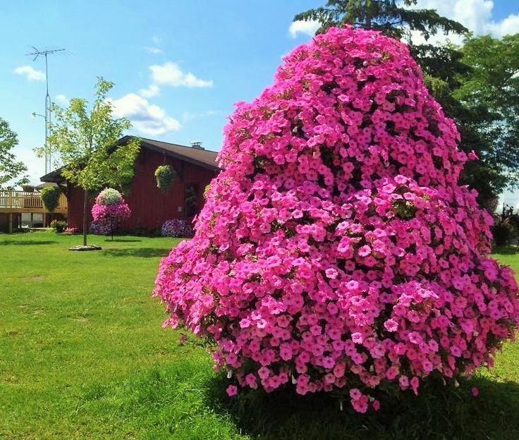 Our Petunia Tree Now Available For